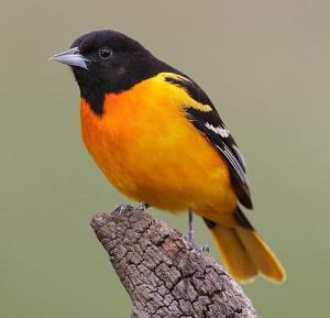 Baltimore Oriole2