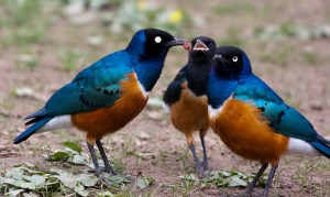 Superb Starling - en.wikipedia.org